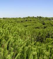 Pinares de Doñana